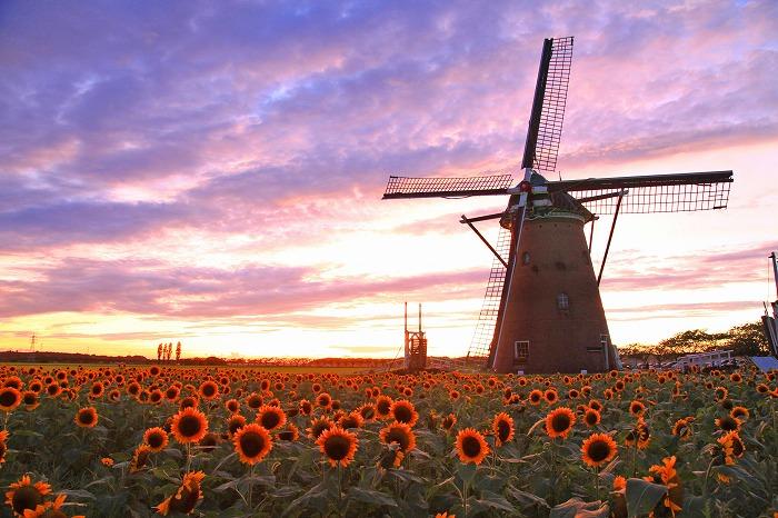 ここはオランダ?いいえ、千葉なんです!15000本のひまわりが咲き誇る広場